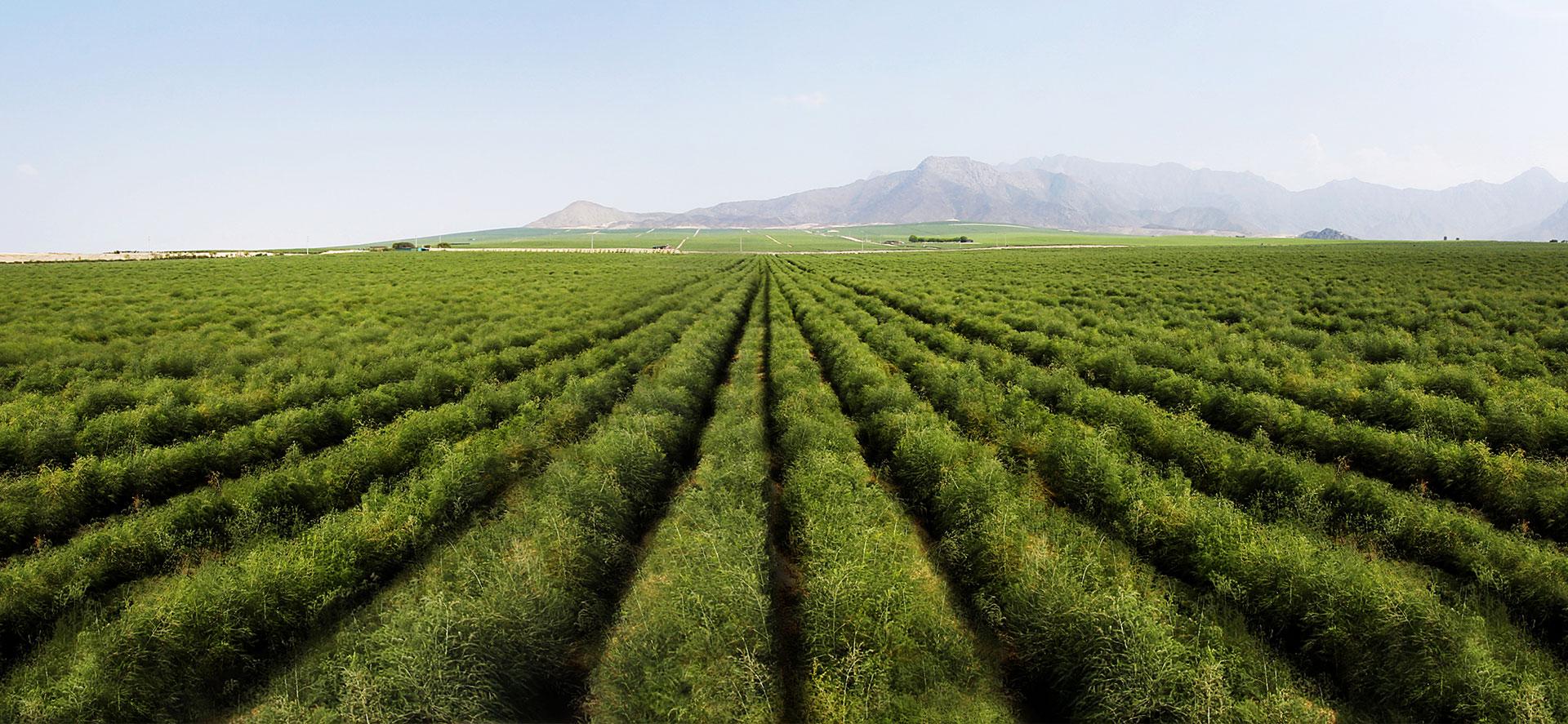 Fields of green asparagus | Virú Naturally ahead